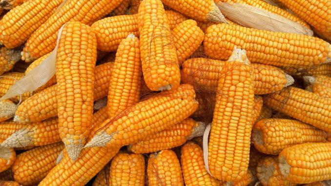 Gigantul care a cumpărat 11,3 milioane tone de porumb în 2020 continuă să-și securizeze sursele de hrană