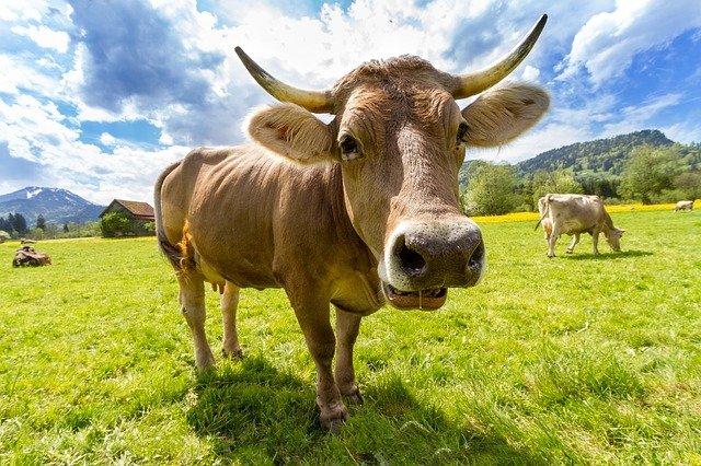 A.N.T. și S.C.Z.- Se cere actualizarea numărului de bovine