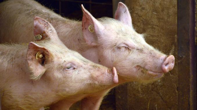 Comuna Micăsasa – motivul morții a 27 de porcine