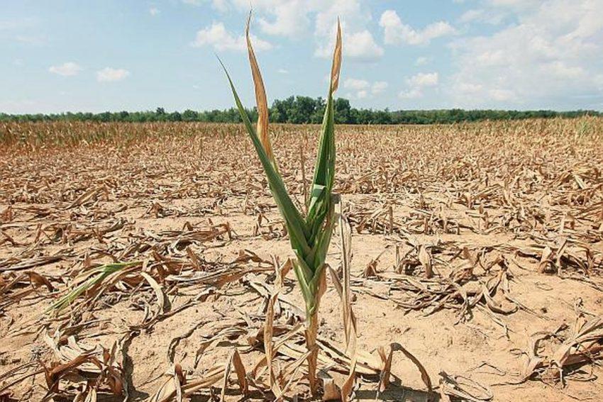 DRAMA unui fermier afectat de secetă – producții ZERO pe linie la grâu, rapiță, floare și porumb