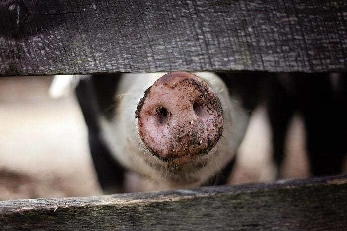 Mare fermă de porci, în pericol să fie închisă din cauza mirosurilor?!