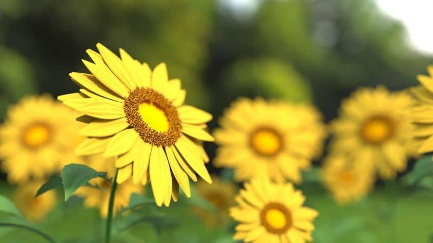 Care sunt cele șase avantaje ale tratării floarea-soarelui cu AMALGEROL ESSENCE?