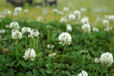 Trifoiul alb poate aduce fermierilor multiple beneficii
