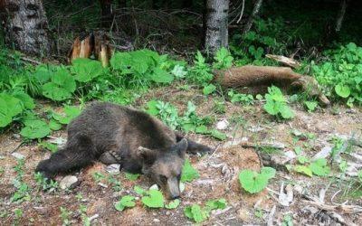 atacul ursilor